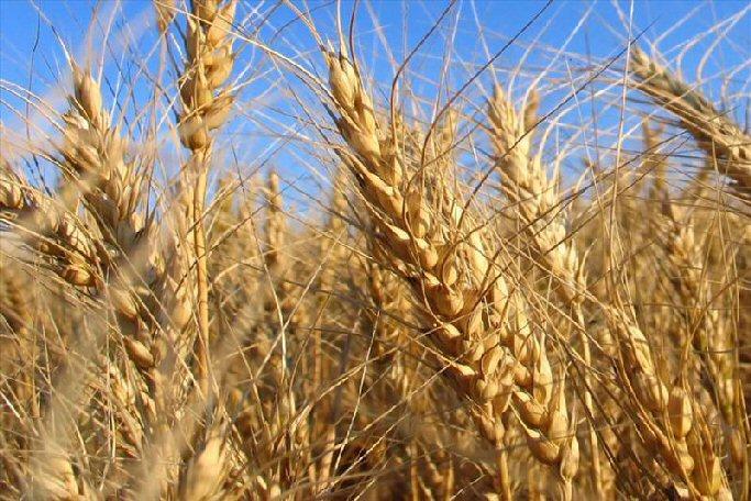 Prevén una cosecha de cereales de menos 3 millones de toneladas