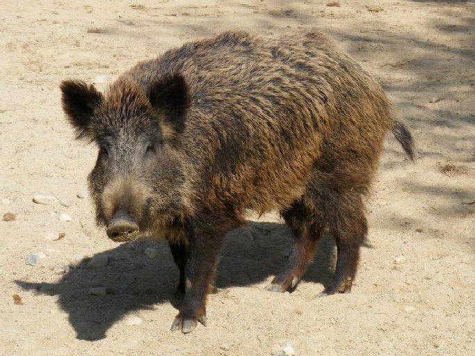 El Gobierno de Castilla La Mancha autoriza la caza del jabalí ante un riesgo sanitario de tuberculosis