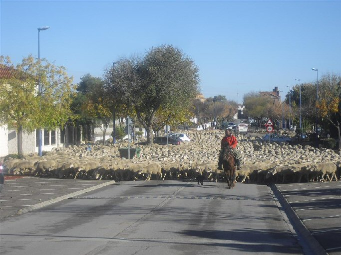 Más de 2.500 ovejas cruzan Manzanares