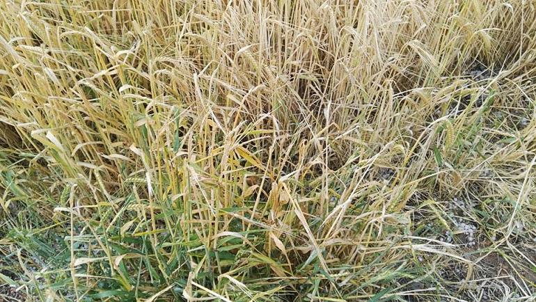Una fuerte tormenta de granizo en la mañana de ayer causó graves daños en los cultivos
