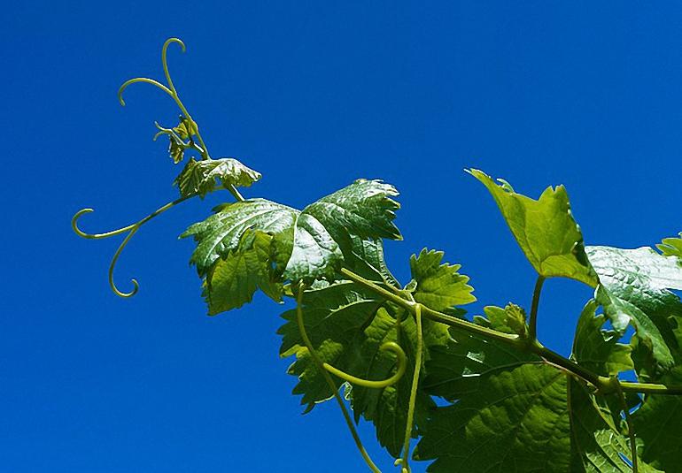 El plazo para solicitar las ayudas por reestructuración del viñedo finaliza el próximo 14 de agosto