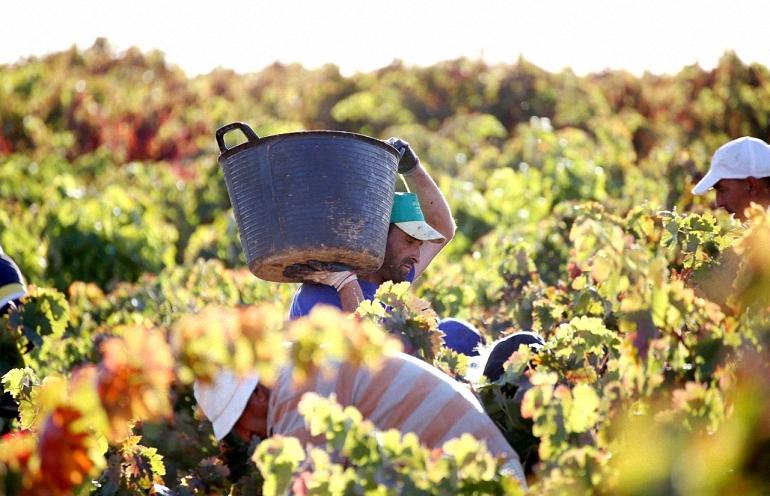 Esta campaña la producción de vino y mosto será menor