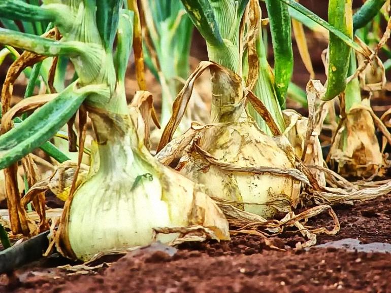 Bolaños Los productores de cebollas alertan de los bajos precios en origen que apenas cubren gastos de producción